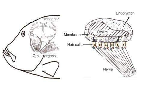 fish-ear