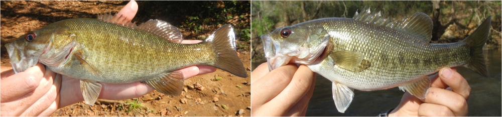 Hybridization creates challenges for management and conservation. Pictured are genetically confirmed hybrids of native Shoal Bass with non-native Smallmouth Bass (left) and Shoal Bass with non-native Spotted Bass (right).