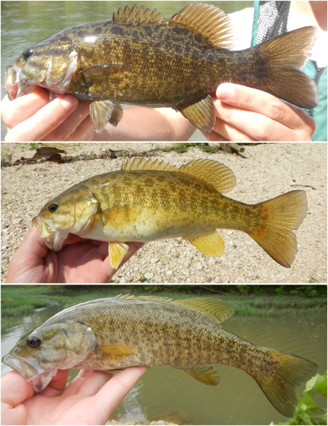 "The Smallmouth Bass (top) is currently unique among the black basses in having a described subspecies, the Neosho Smallmouth Bass (middle). There is also another ""genetically distinct lineage"" known as the Ouachita Smallmouth Bass (bottom)."