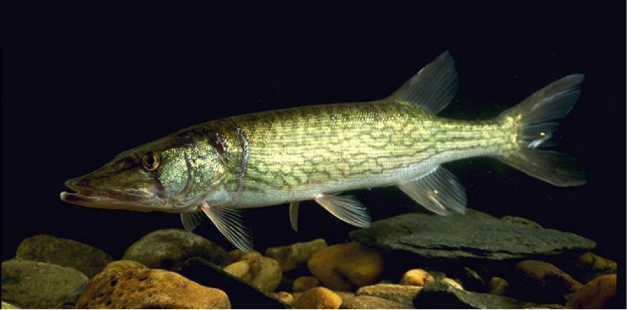 chain-pickerel