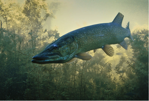 northern-pike