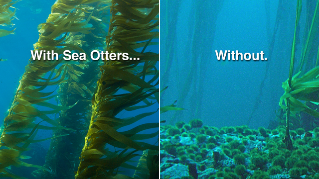 640x360-no-otters-no-kelp1