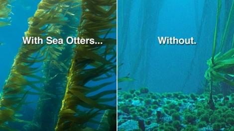 640x360-no-otters-no-kelp1