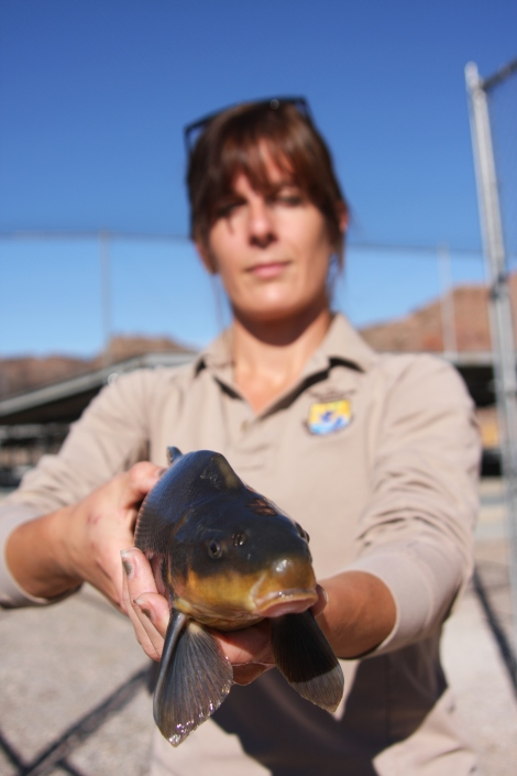 Ashlie Peterson Southwestern Fish Health Unit w razorback sucker at Willow Beach National Fish Hatchery keel on nape photo Craig Springer USFWS.JPG