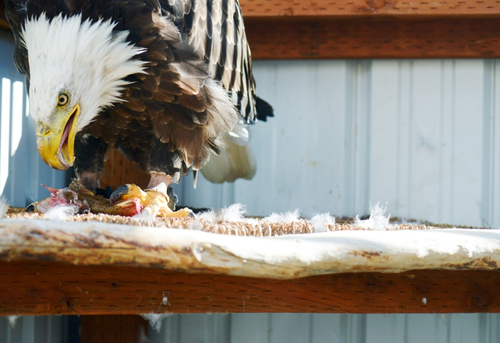 "Mike Greener/Chronicle  Montana Raptor Conservation Center's resident bald eagle called, ""99"", feeds on fresh trout in Bozeman. The center is seeking donations of fish to feed their growing number of birds in captivity."
