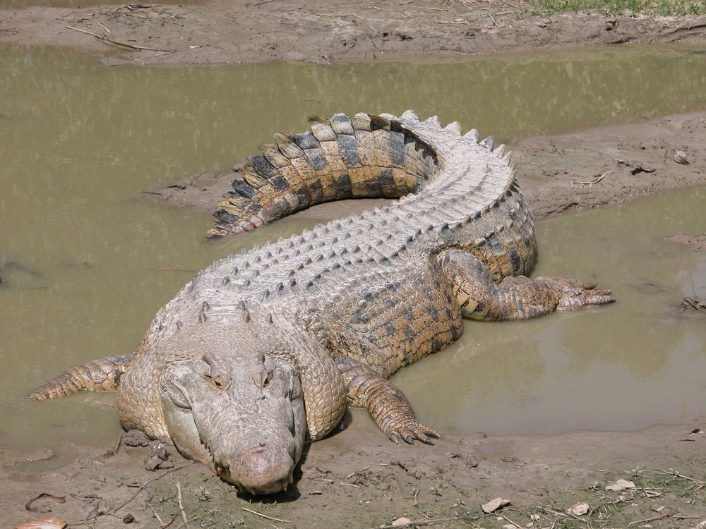 1920px-SaltwaterCrocodile('Maximo').jpg