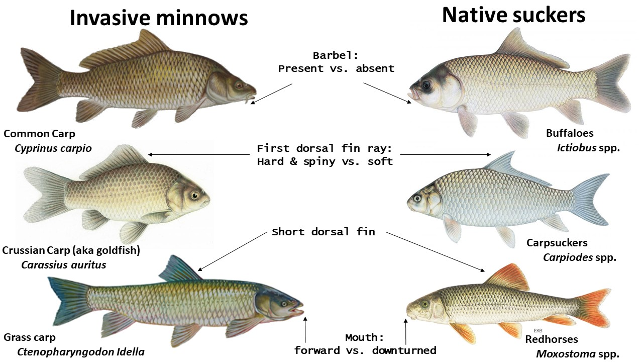 Minnow misconceptions – The Fisheries Blog