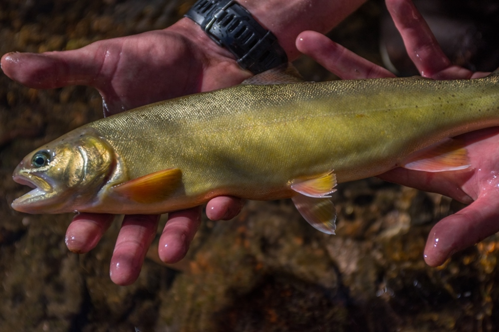 Gila trout stocked in Mineral Creek Gila National Forest photo Craig Springer USFWS resized.jpg