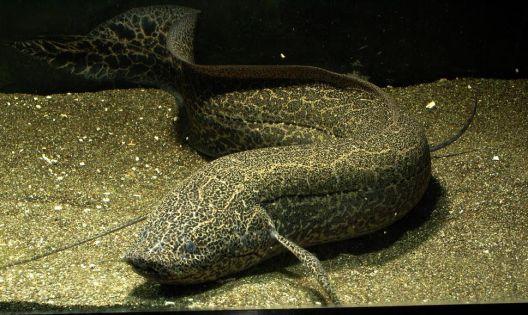FB - Lungfish