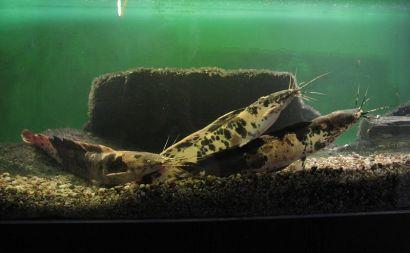 FB - Walking Catfish