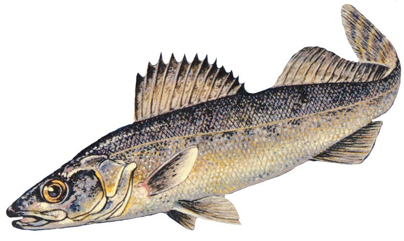 Blue_walleye.jpg