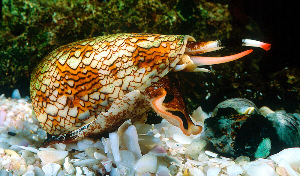 cone-snail-australian-geographic