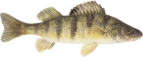 yellow-perch.png