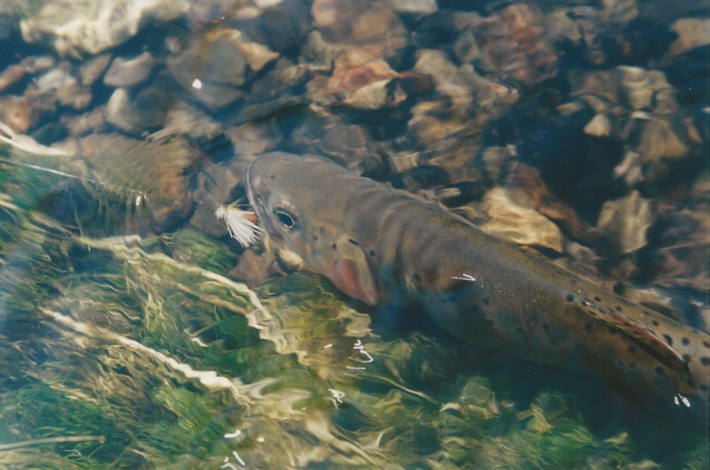 Rio Grande Cutthroat Trout  Craig Springer photo.jpeg
