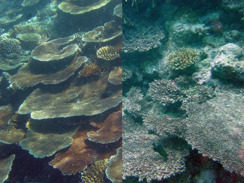 ocean acidification kills coral reefs