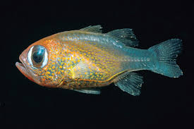 Image result for new cat-eyed cardinalfish