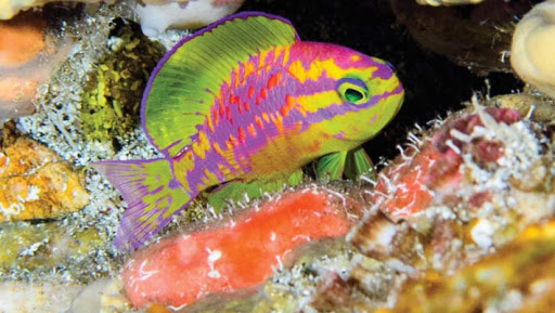 Tosanoides aphroditein its rocky reef habitat